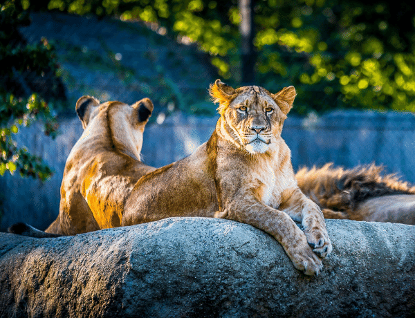 lions chester zoo